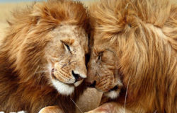 Top eco-tourism operators work together for lion conservation